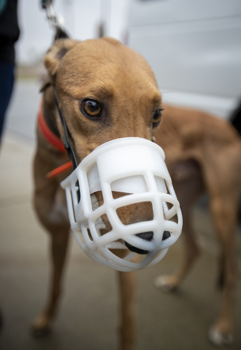A greyhound wearing a white, plastic muzzle.