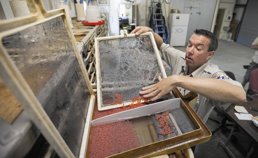 Fish culturalist Beau Hopkins stores winter-run salmon eggs after counting them at the Livingston Stone National Fish Hatchery north of Redding, Calif.