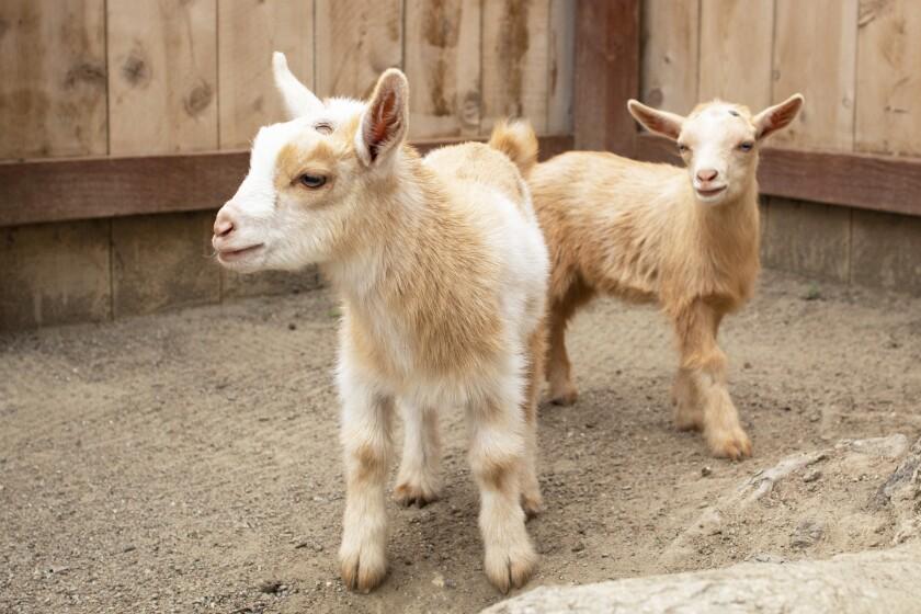 Baby goats at HWAC.jpg