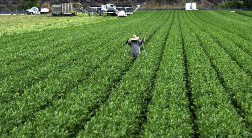 Los trabajadores temporales con visa, que en 2016 eran más de 134.000, están comenzando a reemplazar a los indocumentados en el trabajo agrícola, afirma un reporte. EFE/Archivo