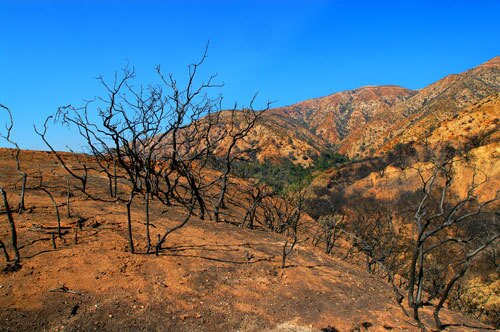 In October 2003, as fire spread across Palmer and Evey canyons north of Claremont, the flames charred not only the manzanita-covered hillsides but also the house that Michael Bright shared with wife Mary. Their life's possessions were lost. But as the couple worried if they could recover from the blaze, the landscape surrounding the ruins of their home provided some inspiration. Just three months after the wildfire, signs of life began poking from the blackened ground. Wildflowers, unlike any they had seen, began to bloom: whispering bells, yellow-throated phacelia, fire poppies and Michael's favorite, the foothill mariposa lily, among others. By 2006, stands of yellow mustard took over the lupine and bluebells, and nonnatives largely pushed out many of the native wildflowers. By this year, the manzanita had grown back, and the landscape looks more like its pre-fire days, leaving Michael's pictures as rare evidence of the fleeting flower show.