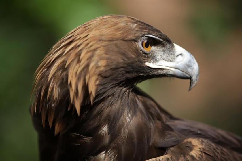 Fotografía cedida este miércoles por el Fondo Mexicano para la Conservación de la Naturaleza (FMCN), de un ejemplar de águila real. EFE/FMCN/SOLO USO EDITORIAL/NO VENTAS