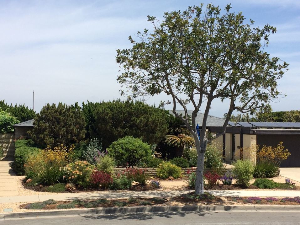 Newport Beach homeowners Peggy Pugh and Jim Gula took out their lawn and installed a low water landscape filled with hardy plants from Australia, South Africa and California.