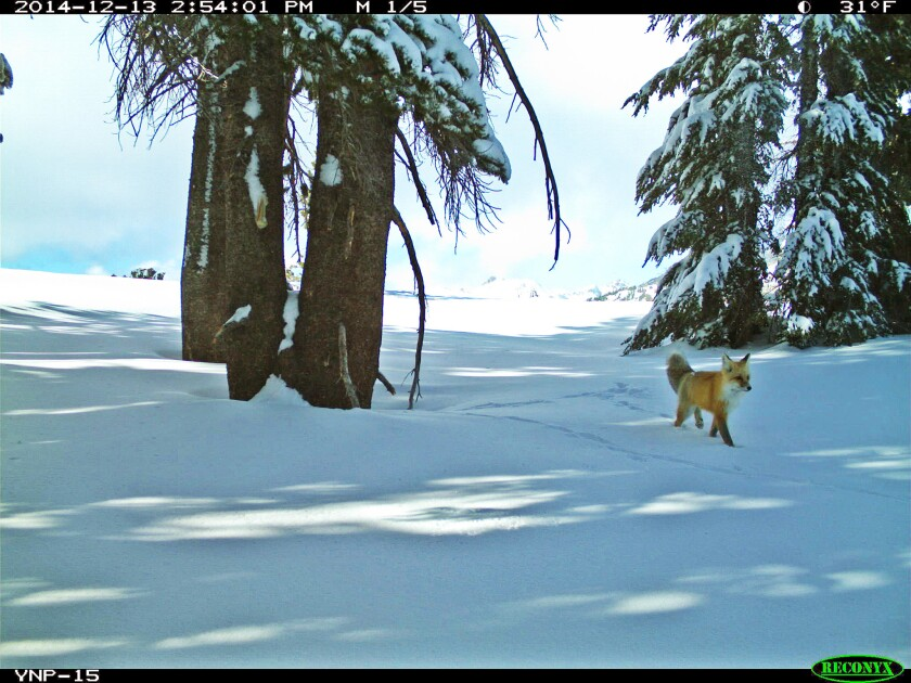 A Sierra Nevada red fox in Yosemite National Park's back country is caught by a motion-sensitive camera set up in the park.