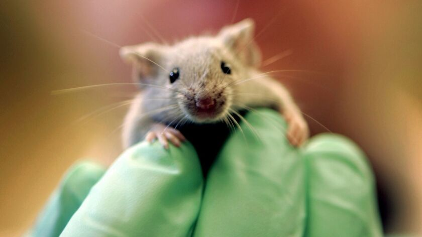 A laboratory mouse climbs on the gloved hand of a technician.