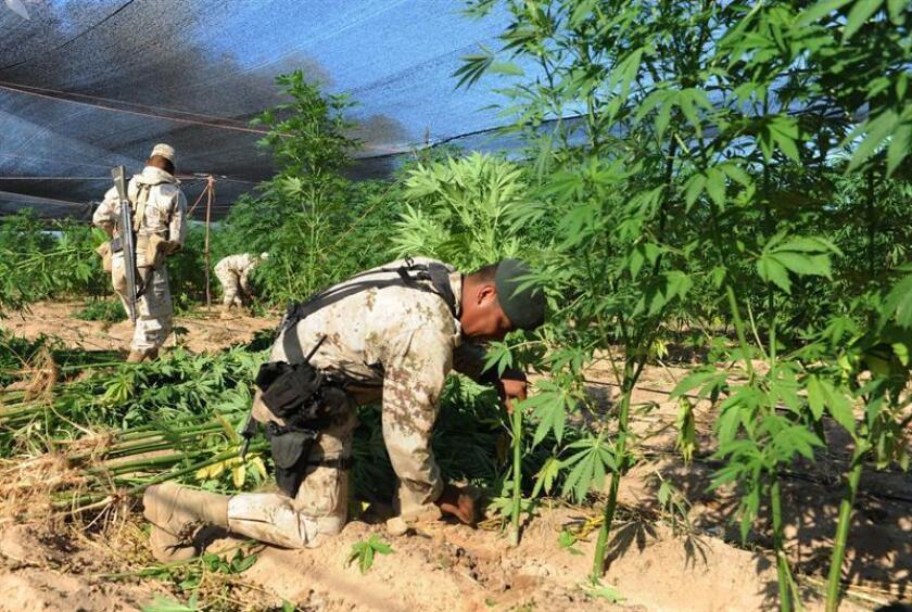 La Policía Federal de México destruyó mediante incineración 15 plantaciones de marihuana y una de amapola, opiáceo usado para elaborar heroína, en el occidental estado de Jalisco, informó hoy la Procuraduría General de la República (PGR, fiscalía) en un comunicado. EFE/ARCHIVO