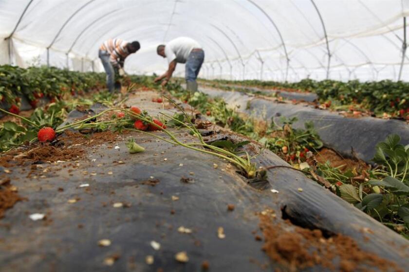 Un 75 por ciento de los invernaderos de México se encuentran abandonados, informó hoy la Universidad Nacional Autónoma de México (UNAM). EFE/Archivo