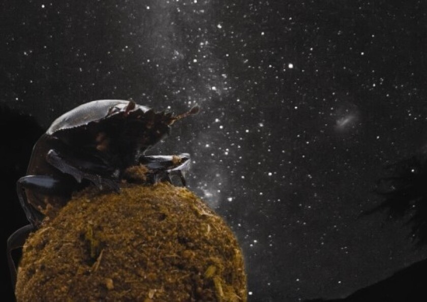 Even on moonless nights, dung beetles are able to roll balls of dung in straight lines, guided by the glow of the Milky Way, researchers found.