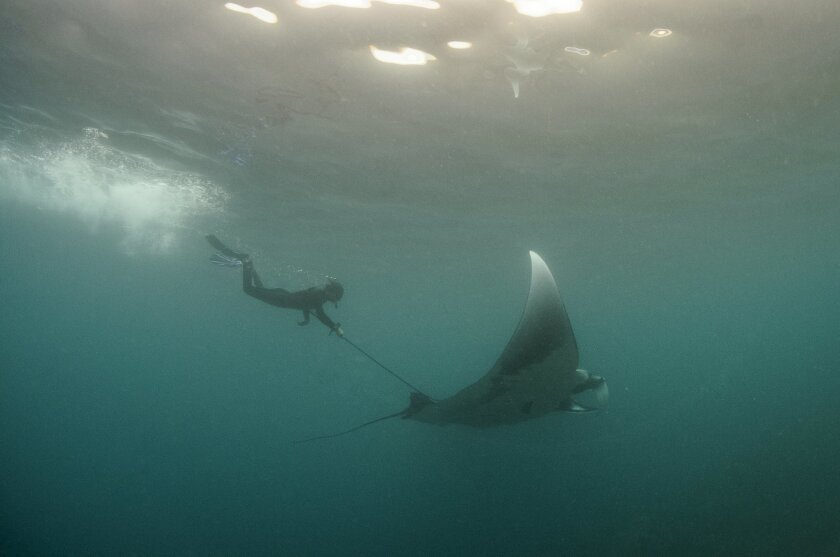Joshua Stewart, a doctoral student in marine biology at the Scripps Institution of Oceanography, places a satellite tag on a manta ray in open waters off Mexico.