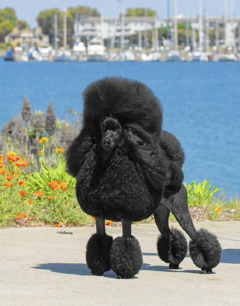 Will Newport Couples Poodle Be Best In Show Los Angeles