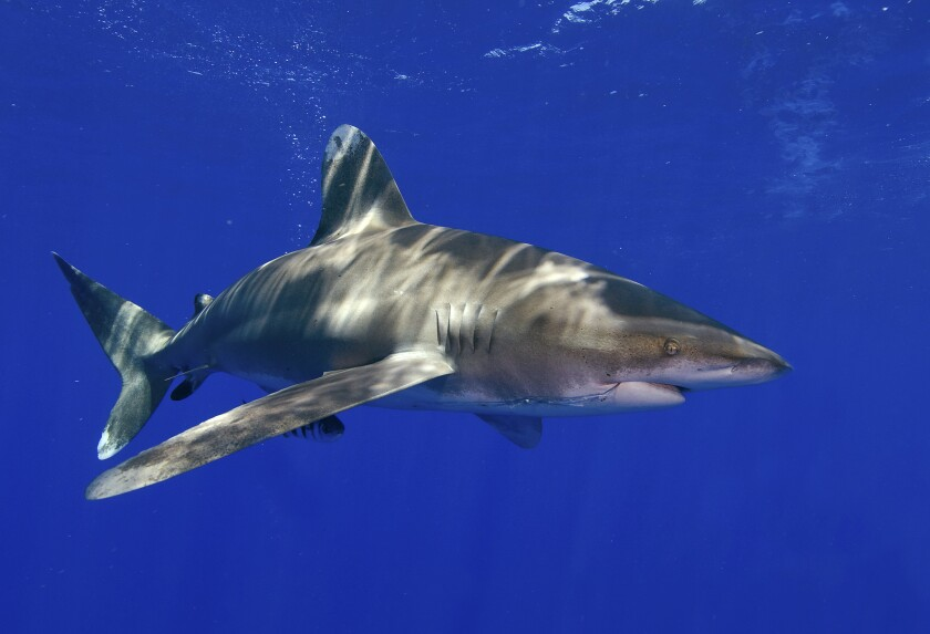 A whitetip shark swims off Cat Island in the Bahamas on June 21, 2008, in this photo provided by the University of Miami Rosenstiel School of Marine and Atmospheric Science.