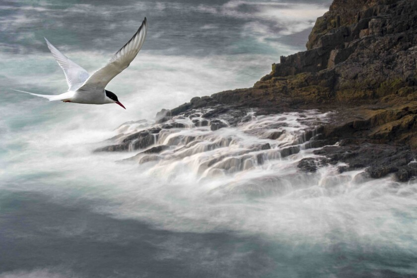 Migrating Arctic tern (Sterna paradisaea) flying over waves.