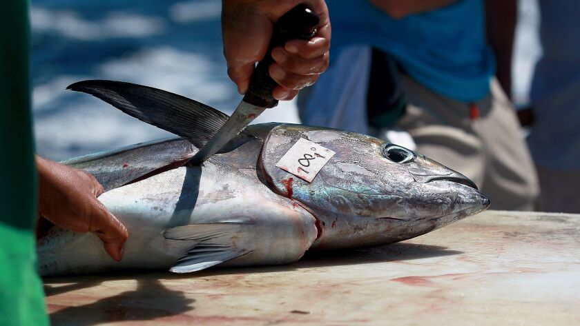 File photo of a fishing crew member cutting a yellowfin tuna aboard the Vendetta, a fishing boat out of H&M Landing in San Diego. Scripps researchers tested yellowfin around the world for toxin levels.