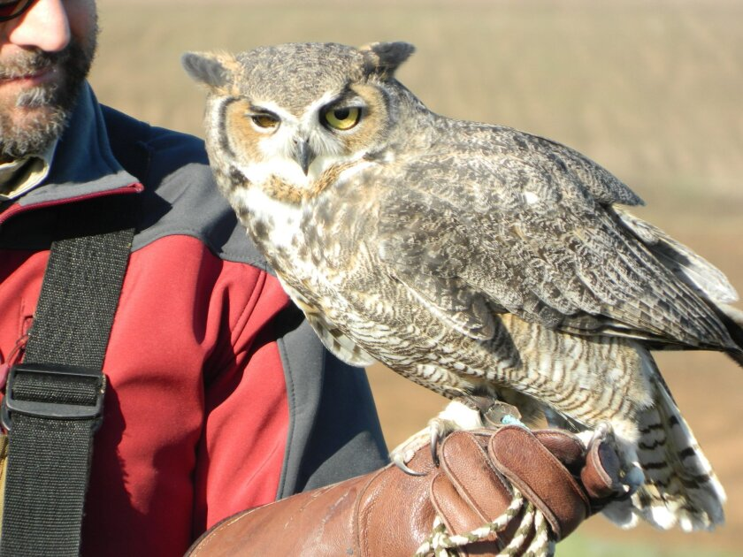 A great horned owl with a damaged right eye, above, looks at Hawk Watch 2015 visitors on Saturday. Hawk Watch continues Saturdays through February from 9 a.m. to noon.