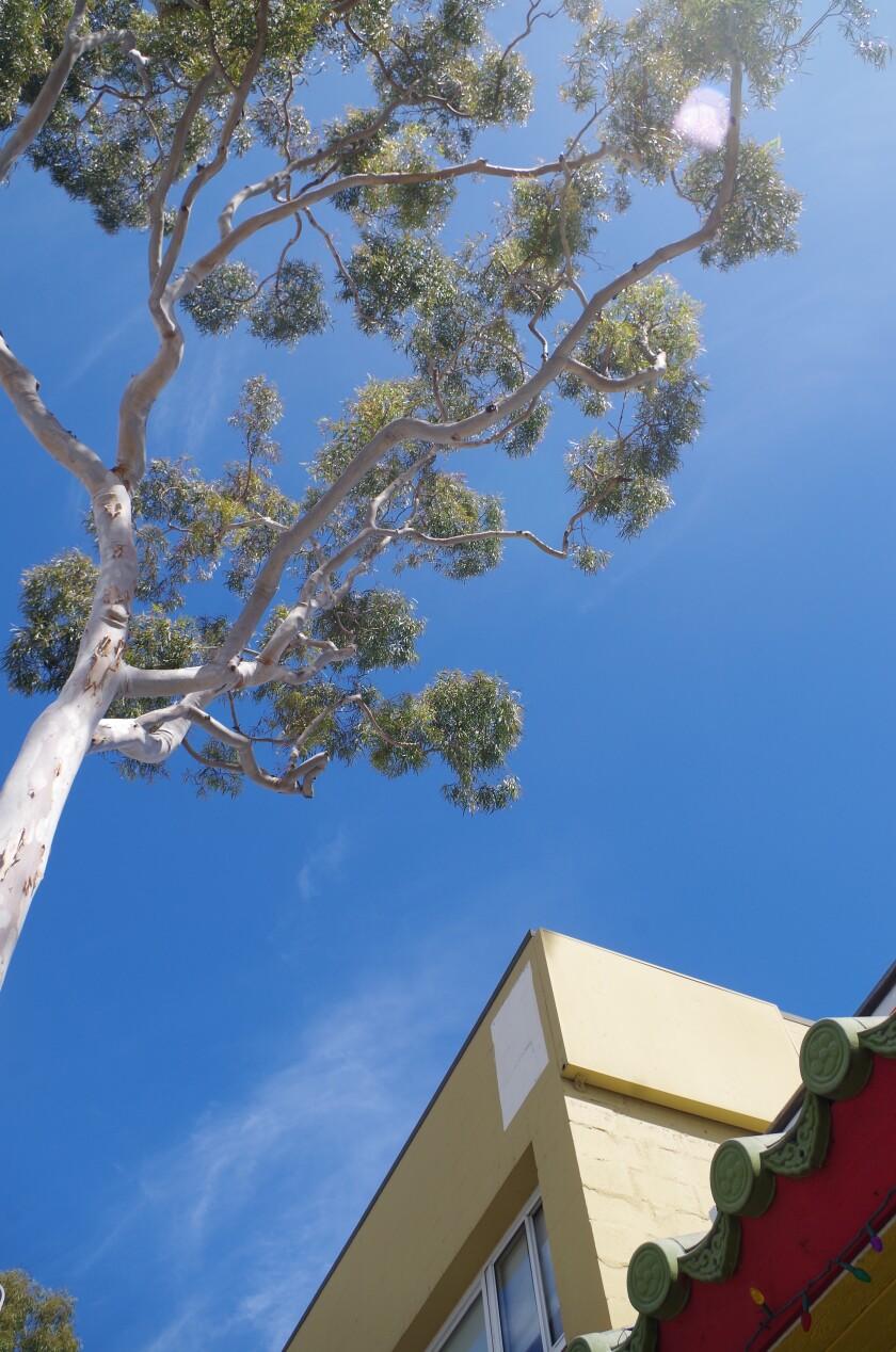 Balboa Island trees