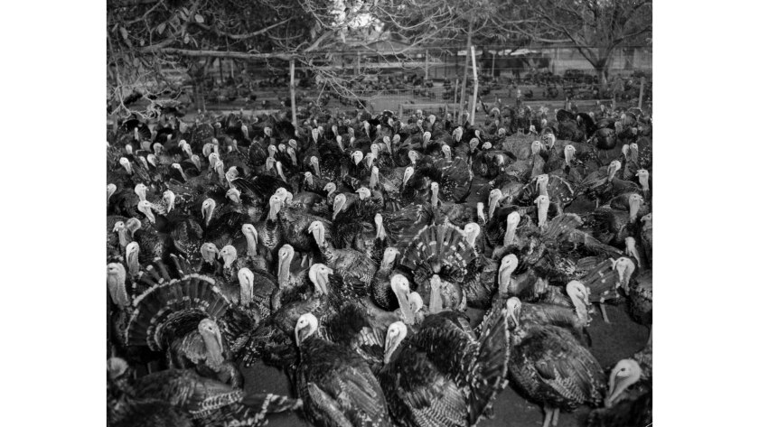 The original Nov. 4, 1945 Times caption reported: THEIR END IS NIGH–Turkeys–tom and hen–gobble