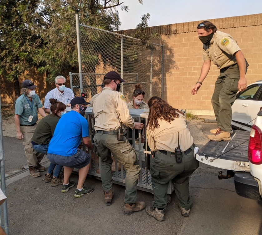 Zookeepers and staff members load a caged animal onto a pickup truck.