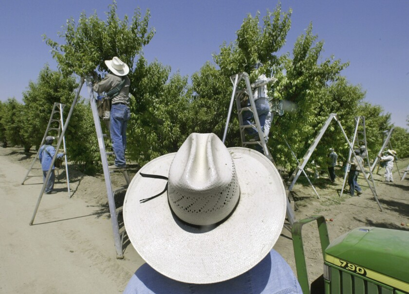 A foreman watches workers pick fruit in an Arvin, Calif., orchard.
