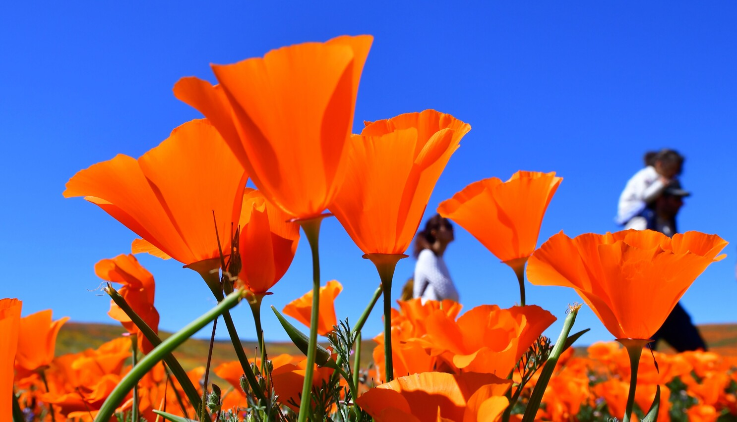 Eight Places To See Wildflowers In Southern California Los