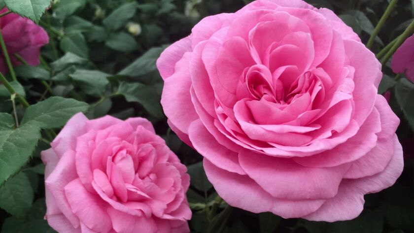 Gertrude Jekyll, is a very popular David Austin rose with a strong old rose perfume. CREDIT: Rita Pe