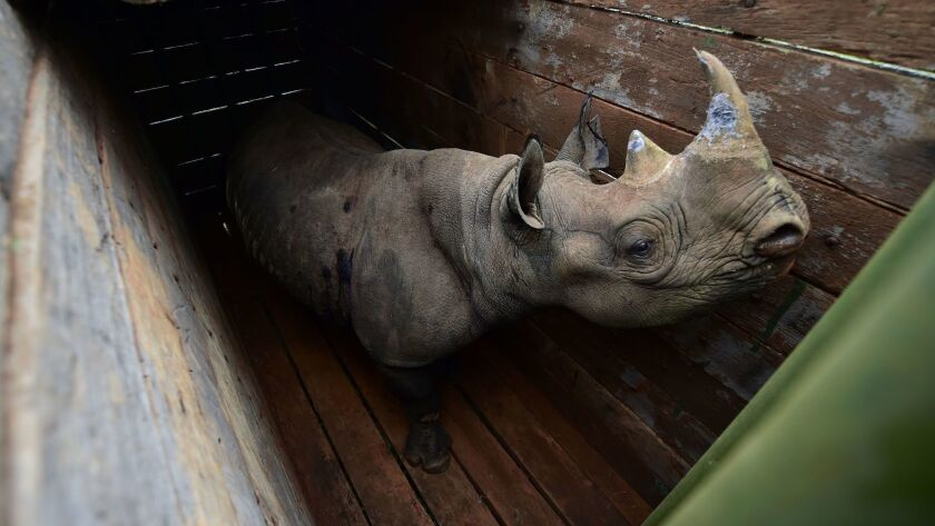 A female black rhinoceros stands in a transport crate for the trip to Tsavo East National Park in June.