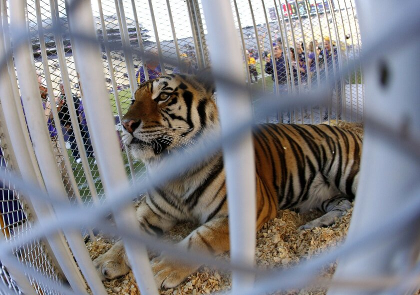 FILE - This Oct. 26, 2013, file photo, shows LSU's Mike the Tiger on the field before the NCAA college football game against Furman in Baton Rouge, La. The university said in a statement Monday, May 23, 2016, that Mike VI has a tumor in its face near its nose but doesn't appear to be in pain. (AP Photo/Jonathan Bachman, File)