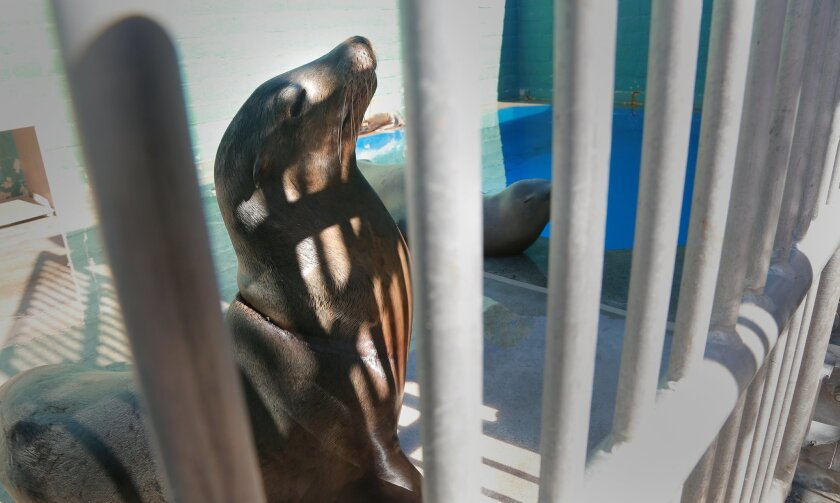 Some of the sea lions that end up at SeaWorld have been wrapped up in fishing line or monofilament that cuts into their skin, often cutting off their ability to breathe.  SeaWorld's Dr. Todd Schmitt worked with the six sea lions that were brought in recently, suffering from complications of guns