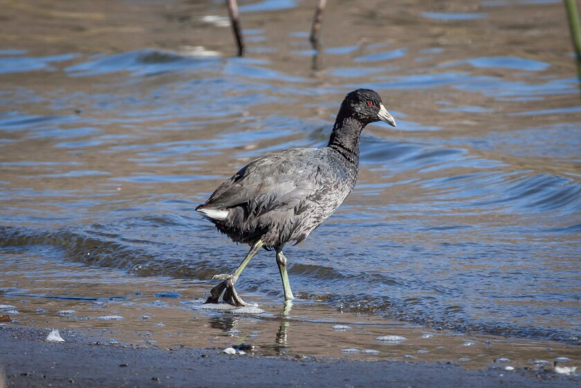 Coot Adult.jpg