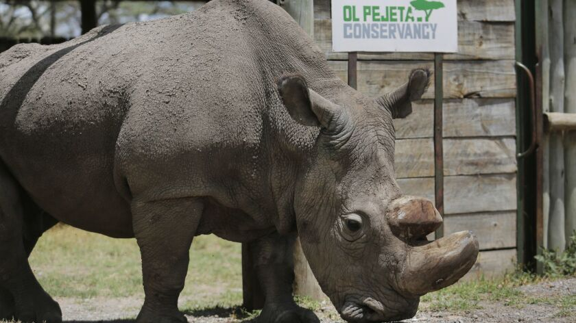 "This May 3, 2017 photo, shows Sudan, the world's last male northern white rhino, at the Ol Pejeta Conservancy in Laikipia county in Kenya. Sudan died on March 19, 2018, after ""age-related complications,"""