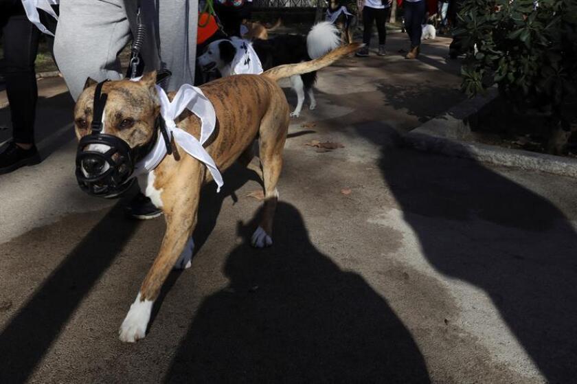 El gobernador de Puerto Rico, Ricardo Rosselló, firmó junto a la primera dama Beatriz Rosselló, el Proyecto de la Cámara 913, que elimina la prohibición a la introducción, posesión, adquisición, crianza, venta y traspaso de los perros de la raza pitbull terrier. EFE/ARCHIVO
