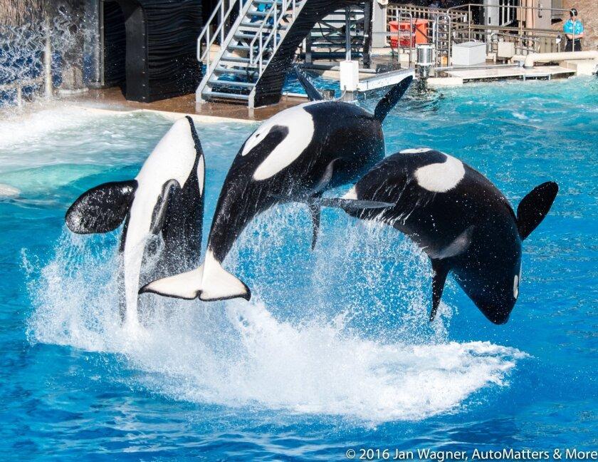 One Ocean killer whale show in Shamu Stadium
