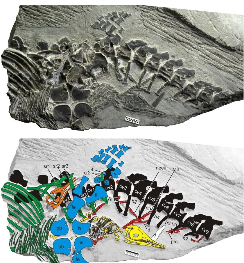 Icthyosaur fossil