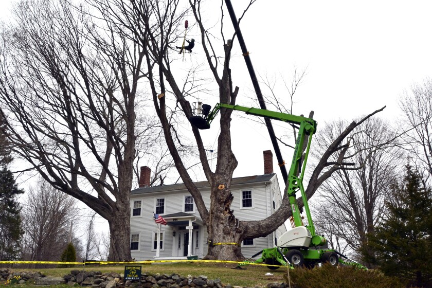 Micum Davis is suspended in the air while working to cut down a sugar maple tree, in Kensington, N.H., Monday, April 5, 2021. The 100-foot-tall tree, believed planted in the late 1700s, was cut down for safety reasons. (AP Photo/Michael Casey)