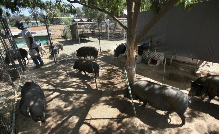 Martin Koontz lures a group of potbellied pigs back into their enclosures after their hour roaming the property, with treats of animal crackers. The Koontzes' rescued pigs get a couple hours of free-range exercise every day.