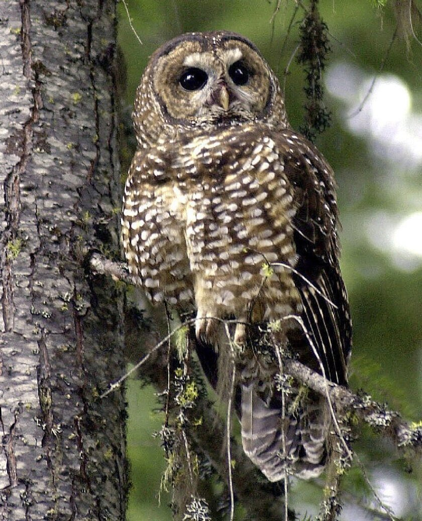 Federal wildlife authorities believe that the California spotted owl may warrant listing as an endangered species.