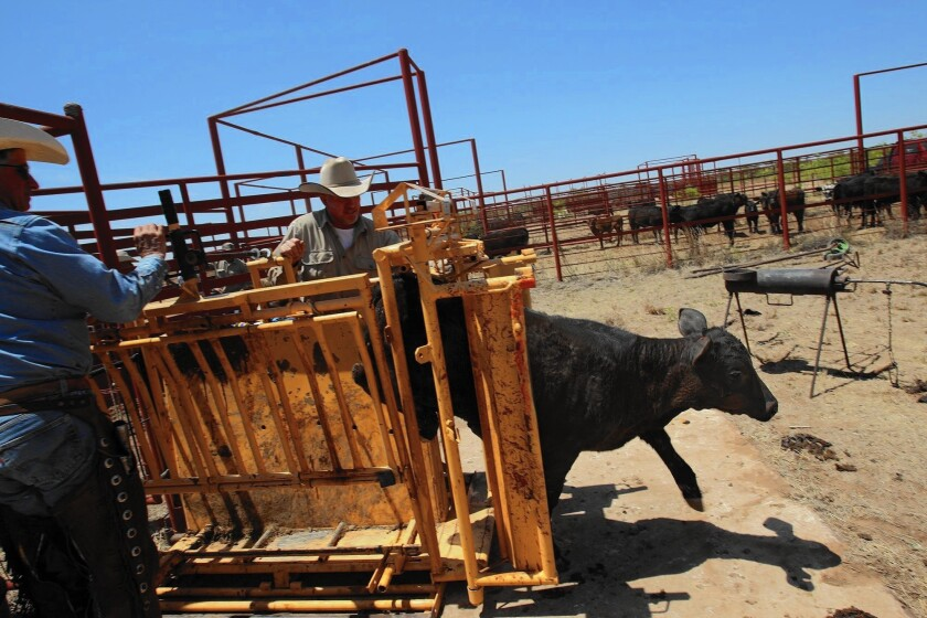Cattle and the environment