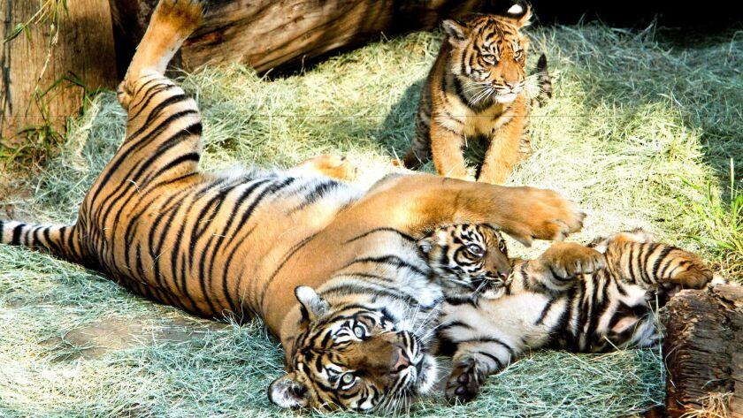 la–me–1210–tiger–cubs