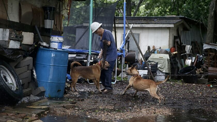 Antonio Garcia, 61, struggles to corral his dogs as he prepares to load them into his truck and evacuate his home on the banks of the rising Brazos River.