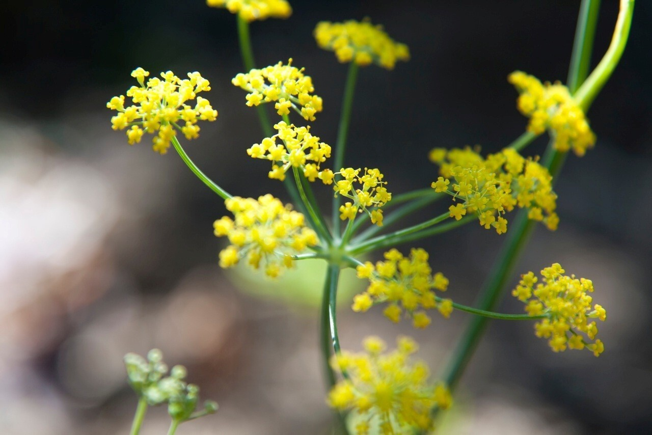 Fennel in bloom: color, shape, scent and, for the gardener-cook, good taste.